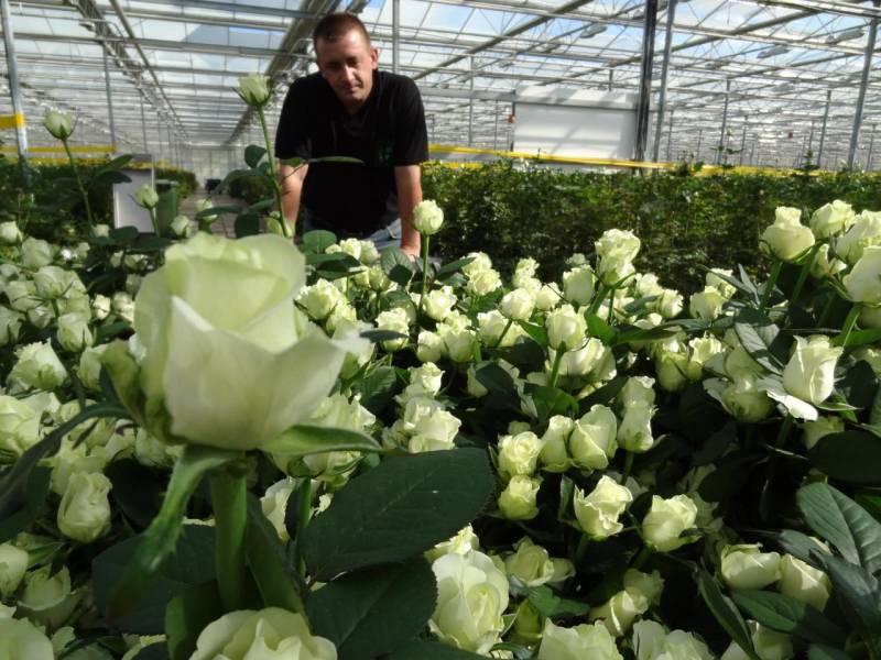Выращивание розы из стебля